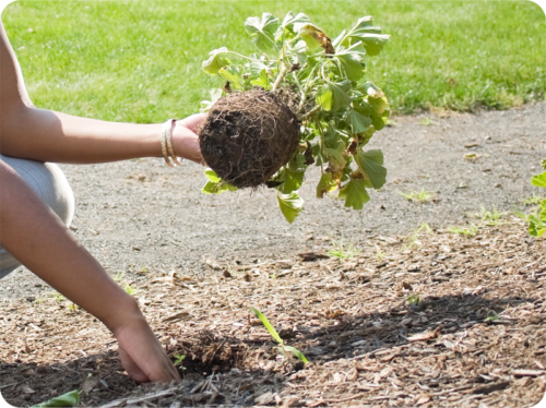 Digging a hole and planting in a garden bed